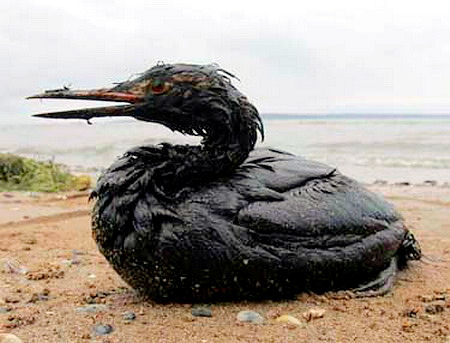 Genom att tillsätta fågelfjädrar till oljespillet på labbänken simulerar vi oljeskadade fåglar.